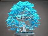 20pcs semillas de arce azules chinos azul bonsai semillas del árbol de arce raras Bonsai Plantas Árboles para plantadores maceta