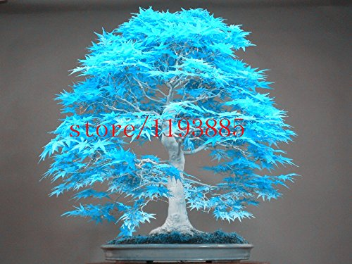20pcs blau Ahornsamen chinesische seltene blaue Bonsai Ahornbaum Samen Bonsai Pflanzen Bäume für Blumentopf Pflanzer