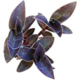 Purple Heart Tradescantia Pallida 2 inch  