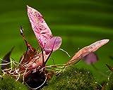 *Roter Tigerlotus, Nymphaea Lotus rubra - ROTE Aquarium Pflanze/Wasserpflanze fürs Garnelenaquarium, Art:Knolle