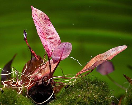 Roter Tigerlotus, Nymphaea Lotus rubra - ROTE Aquarium Pflanze/Wasserpflanze fürs Garnelenaquarium, Art:Knolle
