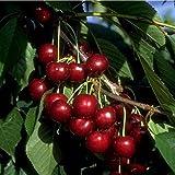 Süsskirsche Kirschbaum Lapins Kirsche selbstfruchtend 120-150 cm 2-jährig im 7,5 L Topf