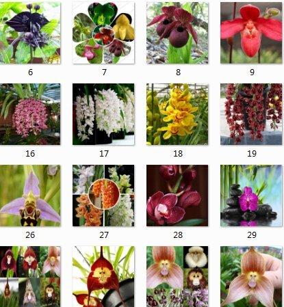 home & amp; Garten 100 Stück Topf Peru Monkey Face Orchid Samen, Affen-Knabenkraut Ältere Phalaenopsis Bonsaipflanzen Blumensamen, Plus-M