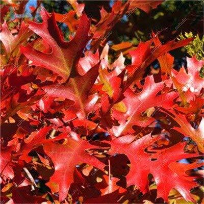 ! Grande Vendita 10 Pezzi Quercia Rossa Americana Bonsai Quercus Albero perenne Piante legnose Decorazione Cortile per piantare Giardino di casa, Facile: 5