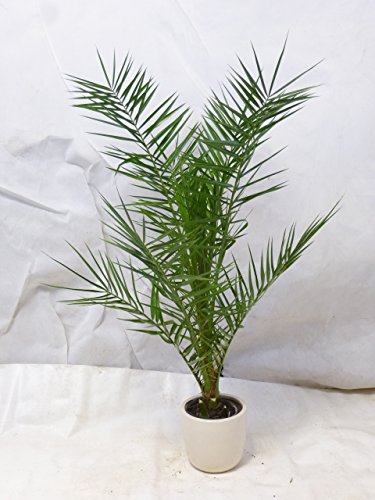 Palmenlager - Phoenix canariensis -kanarische Dattelpalme - 160 cm - Indoor + Outdoor