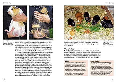 Cuys – Riesenmeerschweinchen: Cavia aperea f. porcellus (Art für Art / Kleinsäuger) - 2