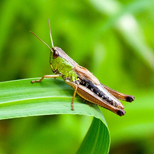 Indian Crickets