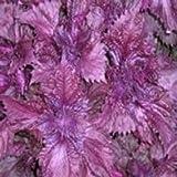 Más de 100 SEMILLAS Perilla frutescens flor/ANUAL/2000 veces más dulce que el azúcar
