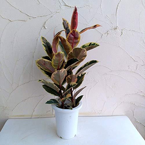 フィカス ティネケ7号鉢植え[カラーリーフが美しいゴムノキの仲間 観葉植物]