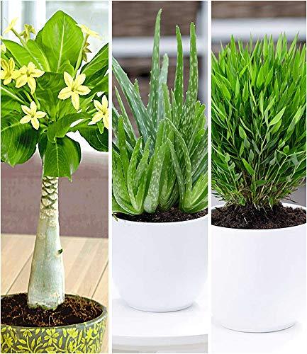 BALDUR-Garten Zimmerpflanzen-Mix Exotisch, 3 Pflanzen je 1 Pflanze Hawaii-Palme, Aloe Vera und Zimmerbambus Zimmerpflanzen