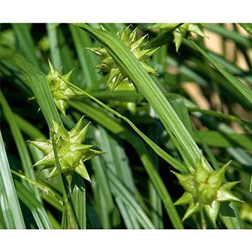Carex grayi Morgenstern - Morgenstern Segge, Morgensterngras - im Topf 13 cm, in Gärtnerqualität von Blumen Eber - 13 cm