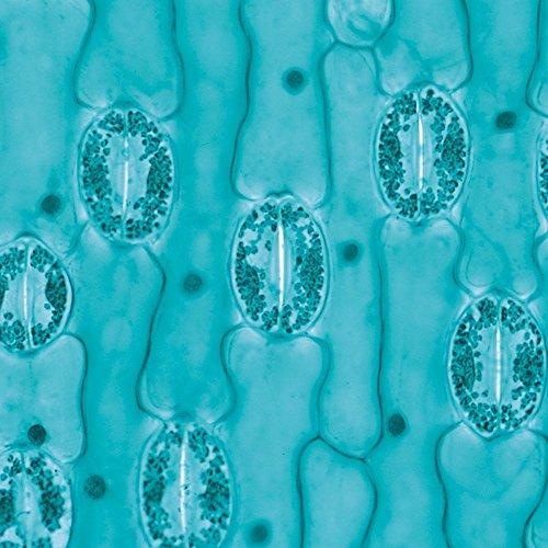 Lily Leaf Epidermis, w.m. Microscope Slide