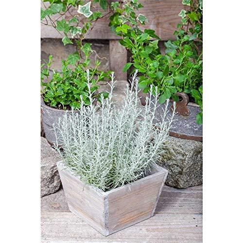 Currykraut 'Aladin' - Helichrysum italicum - winterhart, Kräuterpflanze im Topf 11 cm, in Gärtnerqualität - 14 cm