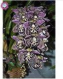 100 piezas de 20 colores rara orquídea cymbidium, cymbidiums semillas africanas, semillas de flor de phalaenopsis bonsai, plantas en maceta para el jardín de 3