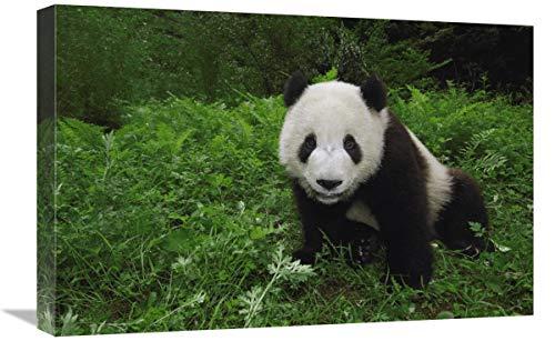 Global Gallery Panda Gigante Mirando cámara, Wolong Reserve, Provincia de Sichuan, Arte...