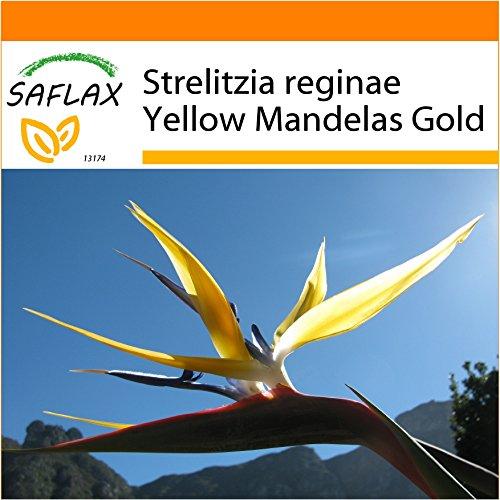 SAFLAX - Jardin dans le sac - Oiseau de paradis jaune - Mandelas Gold - 4 graines - Strelitzia reginae Yellow