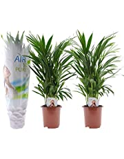 Plant in a Box – Set met 2 Areca palmen – Luchtzuiverende kamerplanten- Hoogte 60-70cm – Pot Ø17cm