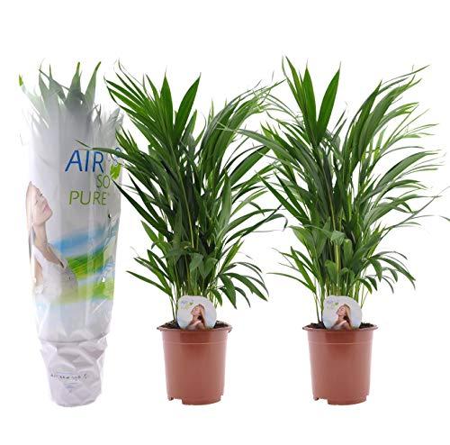 Plant in a Box - Juego de 2 palmeras Areca - plantas...