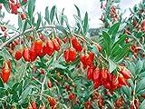 PLAT FIRM Germinación de las semillas: Wonderful Life 200 +++ beneficios de salud rara níspero Goji Berry Semillas de Goji Wolfberry