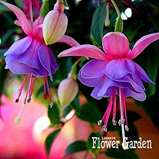 Big Sale!Pink Purple Bell Flowers Fuchsia Seeds Potted Flower Seeds Plants Hanging Fuchsia Flowers 50 Seed/Lot,#834LU9