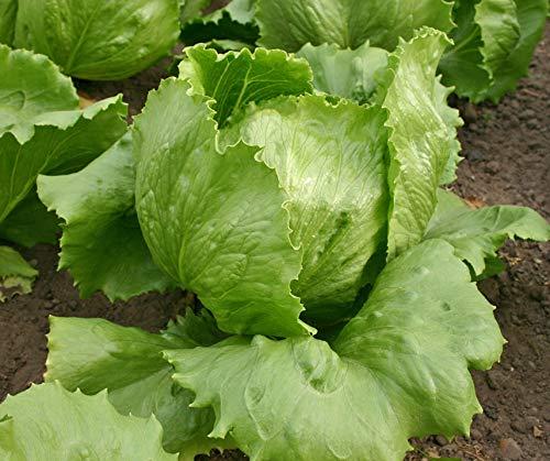 Bobby-Seeds BIO-Salatsamen Eissalat Saladin Portion