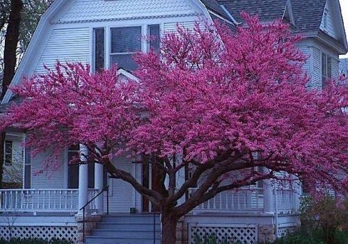 Est Red Bud, Cercis canadensis, 60 graines d'arbres (rapide, couleur Showy, automne)