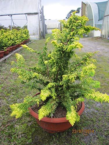 Chamaecyparis obtusa Fernspray Gold - Muschelzypresse Fernspray Gold