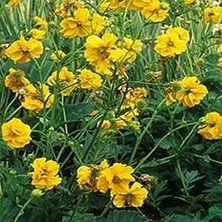 Outsidepride Geum Lady Stratheden - 1000 Seeds