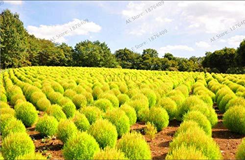 Keland Garten - 200pcs Kochia scoparia Sommerzypresse Feuerstrauch Trichophylla Ziergras immergrün winterhart mehrjährig als niedrige Hecke (Gelb)