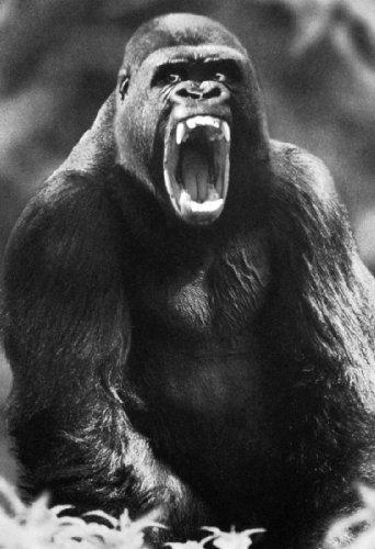 Gorilla Poster, Huge Teeth, Ape, Primate, Monkey, Silverback Showing His Teeth