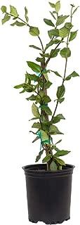 2.5 Qt - Large Leaf Confederate Jasmine(Star Jasmine) - Live Plants/Vines