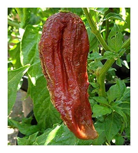 SANHOC Samen-Paket: 5 Samen: Chili Schwarz Naga - Paprika - 5 seedsSEED