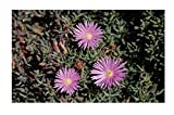 Stk - 15x Lampranthus roseus Sukkulenten Garten Pflanzen - Samen B1679 - Seeds Plants Shop Samenbank Pfullingen Patrik Ipsa