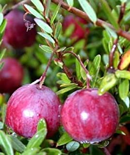 american pilgrim cranberry