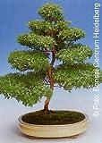 TROPICA - Mirto comune (Myrtus communis) - 30 Semi- Bonsai