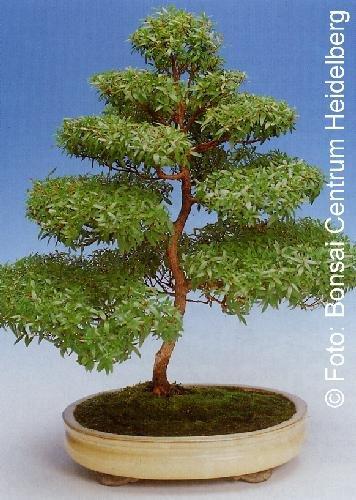 Tropica - Bonsai - Echte Myrte - weiß (Myrtus communis) - 30 Samen