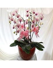 Las plantas de la venta caliente 100 PC / paquete semillas de orquídeas único de la flor de la orquídea Semillas jardín de flores 6