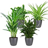 Mix Air So Pure | 4 plantes purificatrices et dépolluantes | Areca, Chlorophytum, Nephrolepis, Spathiphyllum | Hauteur 25-30cm | Cache-pots Elho Ø 12,5cm inclus