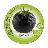 Plantón ecológico de Tomate Negro Indigo Rose maceta 10,5 cm de diámetro