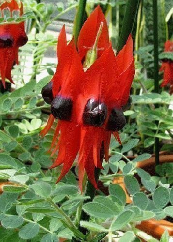 TROPICA - Papageischnabel/Teufelskopf (Clianthus formosus syn. Swaisonia formosus) - 20 Samen