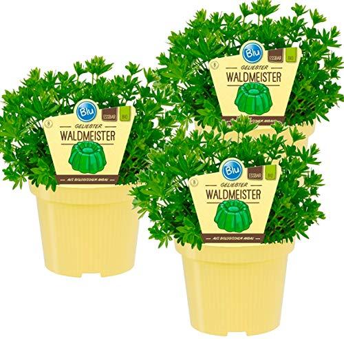 Bio Waldmeister (Galium odoratum), Kräuter Pflanzen aus nachhaltigem Anbau, (3 Pflanzen im Set)