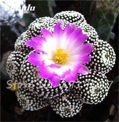 100 Pcs vrai Cactus Seeds, Mini Cactus, Figuier, japonais Succulentes Bonsai Graines de fleurs, Plante en pot pour jardin 2