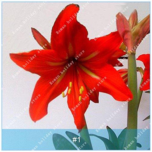 ZLKING 1 PC / Big Echte Amaryllis Zwiebeln Innen- und Außentopf Blumen Pflanzen Blumenzwiebeln Bonsai-Überlebensrate hoch Pack 1