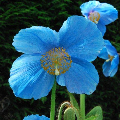 Plant World Seeds - Meconopsis 'Lingholm' (ex Grandis) Seeds