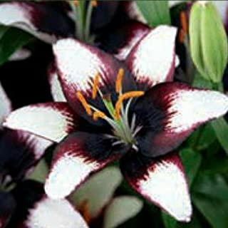 Black Eye Asiatic Lily - 2 Bulbs