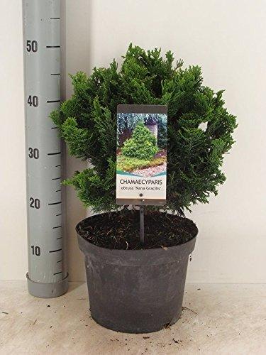 Zwerg Muschelzypresse - Chamaecyparis obtusa Nana Gracilis - verschiedene Größen (50cm - 5Ltr.)