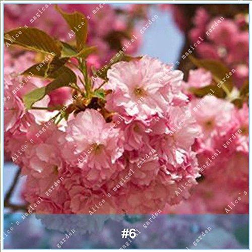 ZLKING 20pcs/pack japonais Sakura Fleurs Bonsaï Graines Cerasus yedoensis fleurs de cerisier facile de cultiver des plantes de fleurs exotiques 6