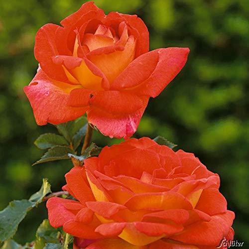 Edelrose Parfum de Grasse in kirschrot-gelb - Duftrose winterhart - Rosen-Blüte in kirschrot-gelb - Rose sehr stark duftend im 5 Liter Container von Garten Schlüter - Pflanzen in Top Qualität