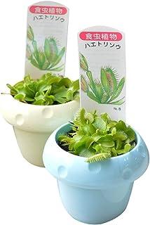相武ガーデン 食虫植物 ハエトリ草 2ポットセット ハエトリグサ はえとり草
