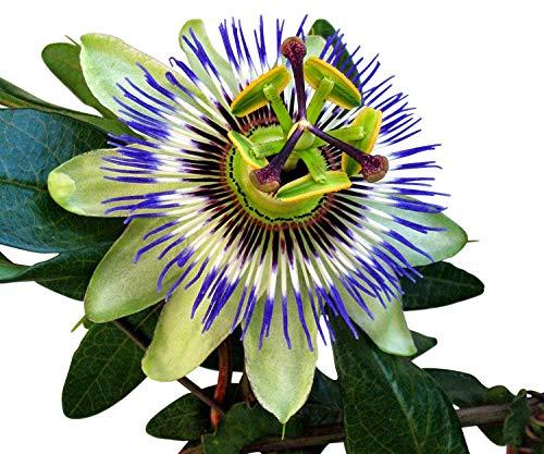 Passiflora- Passiflore plantes–variété Bleu–env. 60cms de haut dans un pot de 2L–Plante grimpante